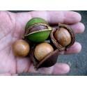 Vrtni Beli Mak Seme (Papaver somniferum)
