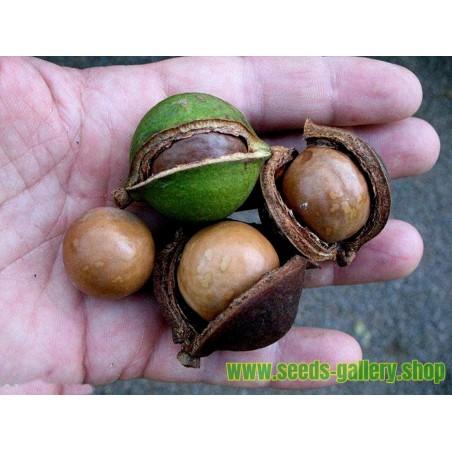 Macadamia Nut Seeds (Macadamia integrifolia)