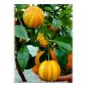 Deutsche Landsknechtshose - Pomeranze Samen (Citrus aurantium 'Fasciata')