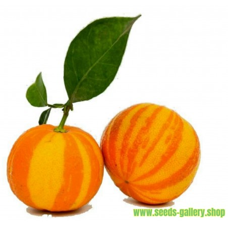 Graines Orange Rayées, Séville Orange (Citrus aurantium fasciata)