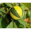 Catmint - Catnip Seeds (Nepeta cataria)