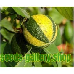 Prugasta Pomorandza, Sevilla- Pomorandza Seme (Citrus aurantium fasciata)