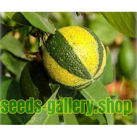 Striped Orange, Seville-Orange Seeds (Citrus aurantium fasciata)