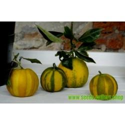 Sementes Laranja listrada, Sevilla  Laranja (Citrus aurantium fasciata)