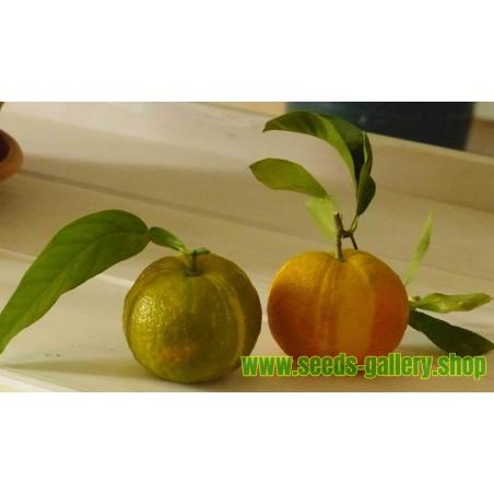 Thai Holy Basil Seeds (Ocimum tenuiflorum)