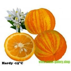 Semillas naranja rayada, Sevilla-naranja (Citrus aurantium fasciata)