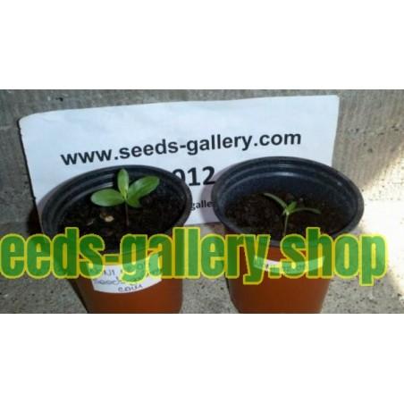 Σπόροι Νόνι (Morinda citrifolia)