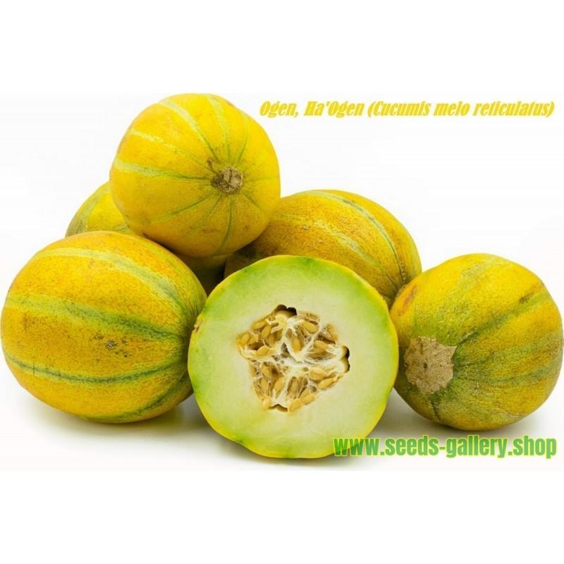 Semillas de Chaura (Gaultheria mucronata)