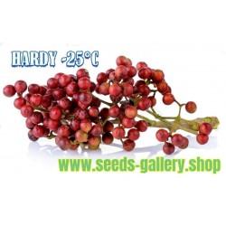 Σπόροι πιπέρι Σάνσο, το ιαπωνικό - Sanshō (Zanthoxylum piperitum)