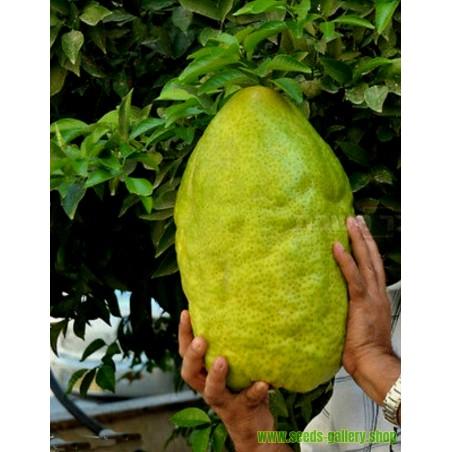 Giant Citron Frön 4 kg frukt (Citrus medica Cedrat)