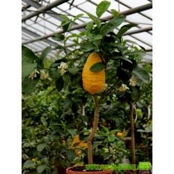 Sementes de Limão Gigante - 4 kg de fruta (Citrus Medica Cedrat)