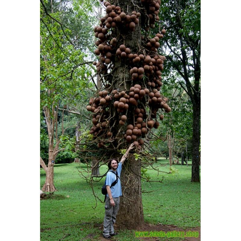 Artichoke Seeds VIOLET DE PROVENCE