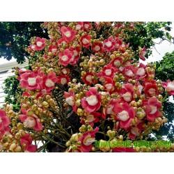 Topovska kugla Seme (Couroupita guianensis)
