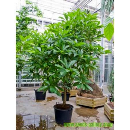 Kanonenkugelbaum Samen (Couroupita guianensis)