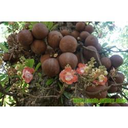 Semillas de El Ayahuma , Bala De Cañón (Couroupita guianensis)