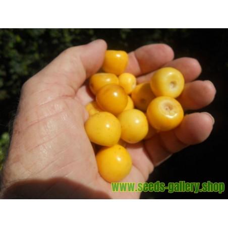 Tetovac big white Bean Seeds