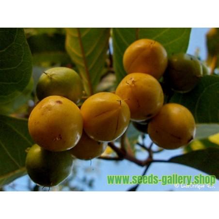 Semi di Frutta esotica Muruçi, Nanche, Nance (Byrsonima crassifolia)