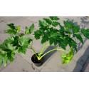 ASHITABA seeds (Tomorrow's Leaf) (Angelica keiskei Koidzumi)
