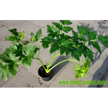 Graines de Ashitaba - Meilleure plante médicinale (Angelica keiskei Koidzumi)