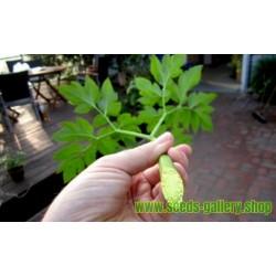Ashitaba – Sutrasnji List Seme (Angelica keiskei koidzumi)