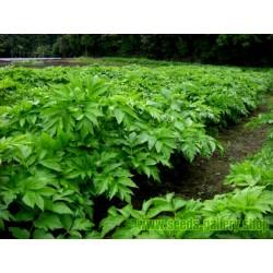 Ashitaba Fröer Kung av medicinska växter (Angelica keiskei Koidzumi)