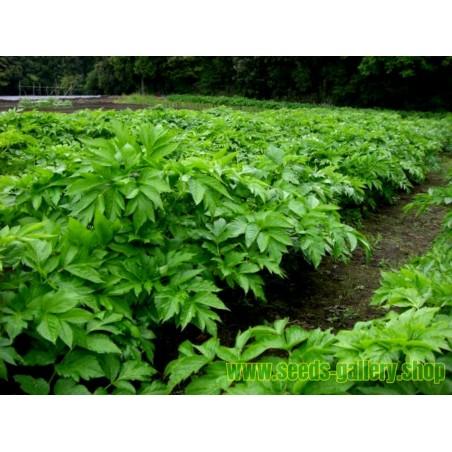 Heilpflanze Morgenblatt - Ashitaba Samen (Angelica keiskei koidzumi)