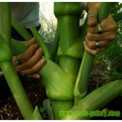 Σπόροι Ashitaba Ο βασιλιάς των φαρμακευτικών φυτών  (Angelica keiskei Koidzumi)