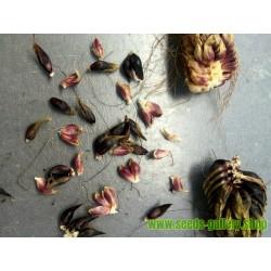 """Die ungarischen Chili Samen """"Ceruza erős Paprika"""""""