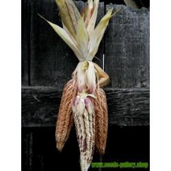 Spelzmais Samen (Zea mays, var. tunicata)