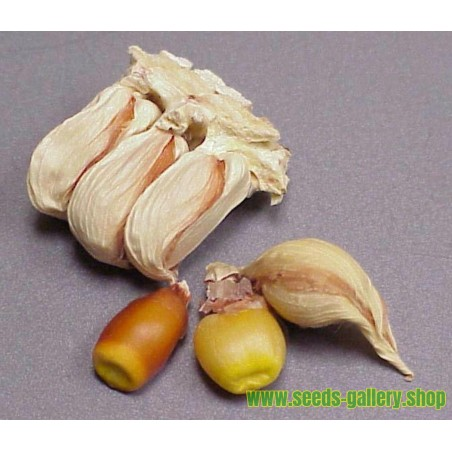 Graines de Maïs Vêtu - Maïs Pod (Zea mays, var. tunicata)