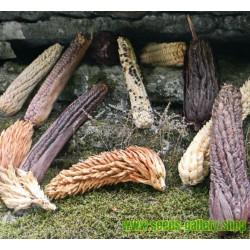Sementes de MILHO TUNICATA (Zea mays, var. tunicata)