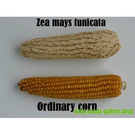 Pod Majs Frön (Zea mays tunicata)
