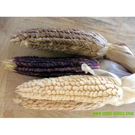 Graines de Maïs Vêtu - Maïs Pod