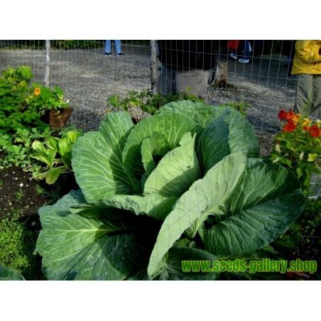 Gigantic Japanese Cabbage Seeds