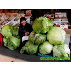 Gigantic Japanese Cabbage Seeds