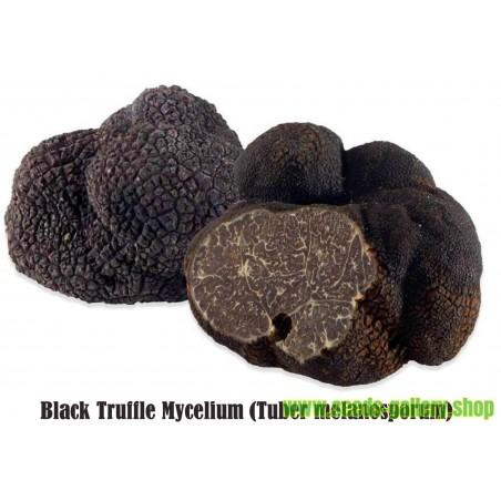 Schwarze Trüffel - Myzel (Tuber melanosporum)
