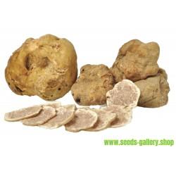 Mycélium de Truffes Blanches (Tuber melanosporum)