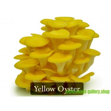 Μυκήλιο σπόρος - Πλευρώτους κίτρινο-χρυσό (pleurotus citrinopileatus)