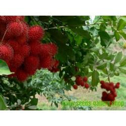 Semillas de NONI El Arbol Del Zumo Magico (Morinda citrifolia)