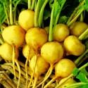 Graines - Mycélium de Reishi - Ganoderme Luisant (Ganoderma lucidum)