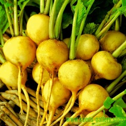 ZLATA Yellow Radish Seeds (Raphanus sativus)