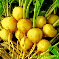 ZLATA Yellow Radish Seeds (Raphanus sativus)