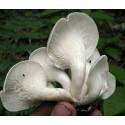 Kronenblume Samen - Heilpflanze (Calotropis gigantea)
