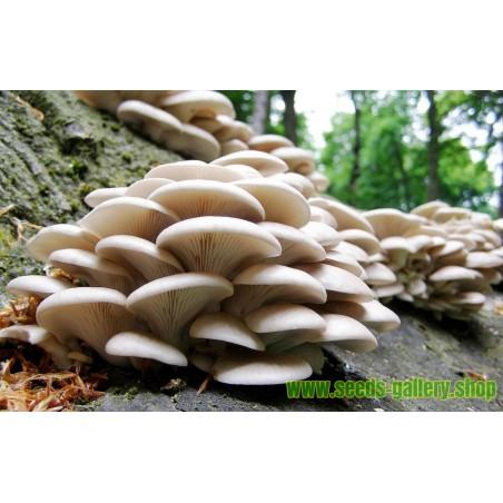 White Oyster Mushroom Mycelium Spores Seeds (Pleurotus cornucopiae)