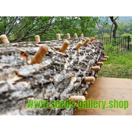Reishi - Glänzende Lackporling - Myzel - Samen (Ganoderma lucidum)