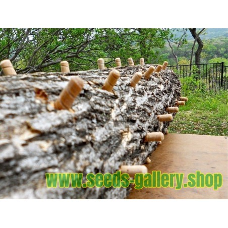 Semi - Micelio - Reishi - FUNGHI DI IMMORTALITÀ (Ganoderma lucidum)