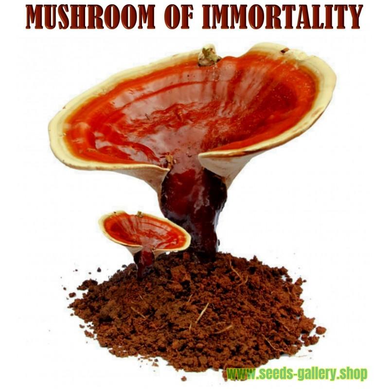 "Semillas - Micelio De Seta de la inmortalidad ""Pipa"" (Ganoderma lucidum)"