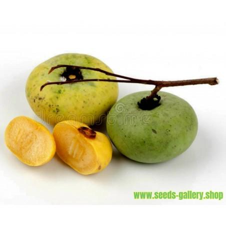 Graines de Kawista, Pomme à coque (Limonia acidissima)