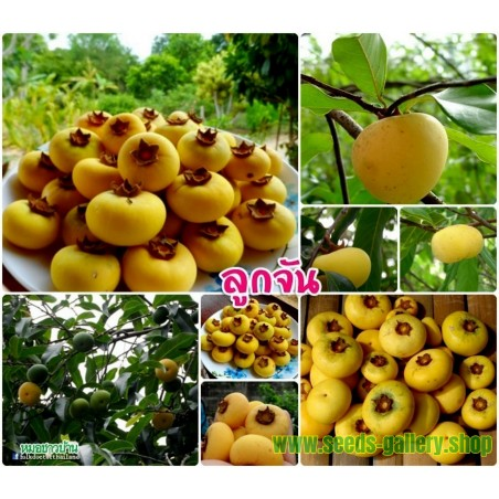 Sementes de Ouro Maçã - deliciosa muito perfumado único Rare (Diospyros decandra)