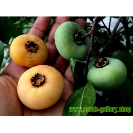 Seed Gold-Apple - Very fragrant Delicious unique Rare (Diospyros decandra)